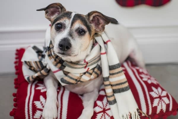 Dog Wearing a Scarf Sitting on a Blanket